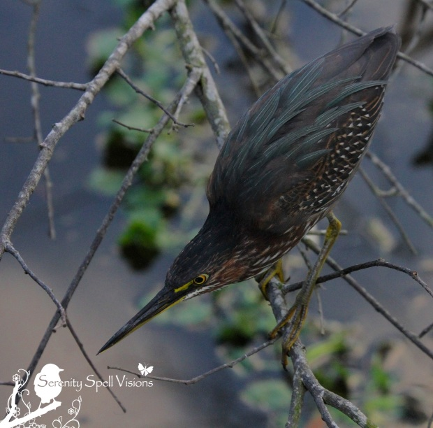 Green Heron, Florida Wetlands