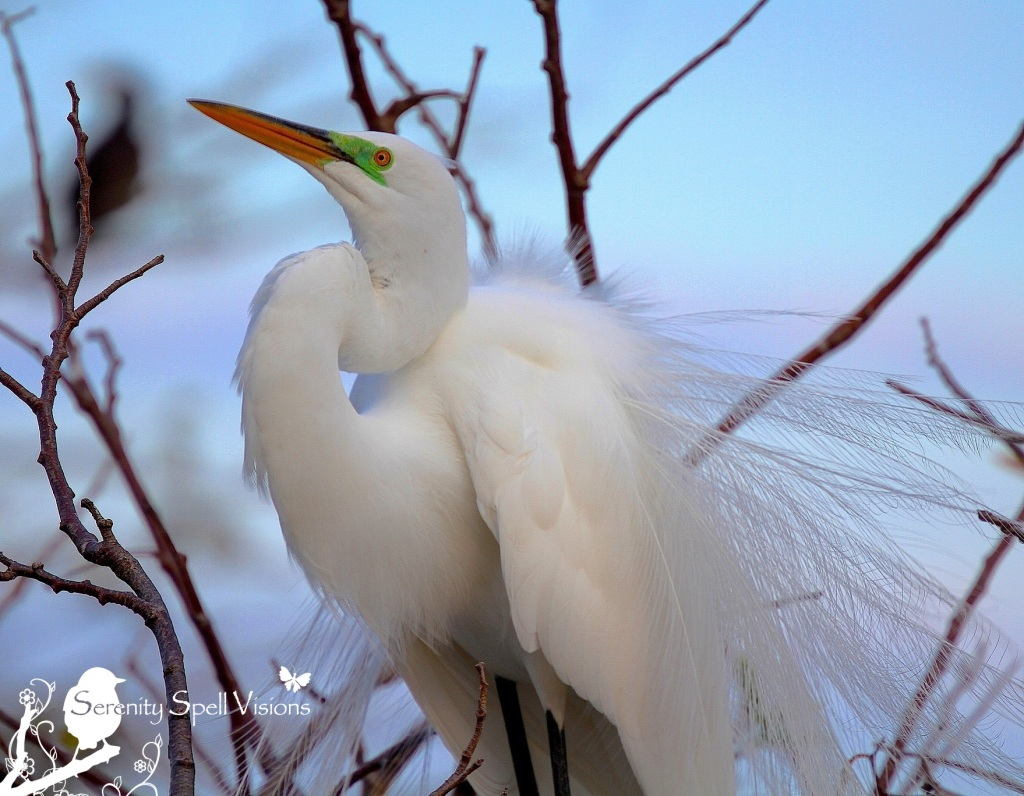 Breeding Great Egret, Florida Wetlands