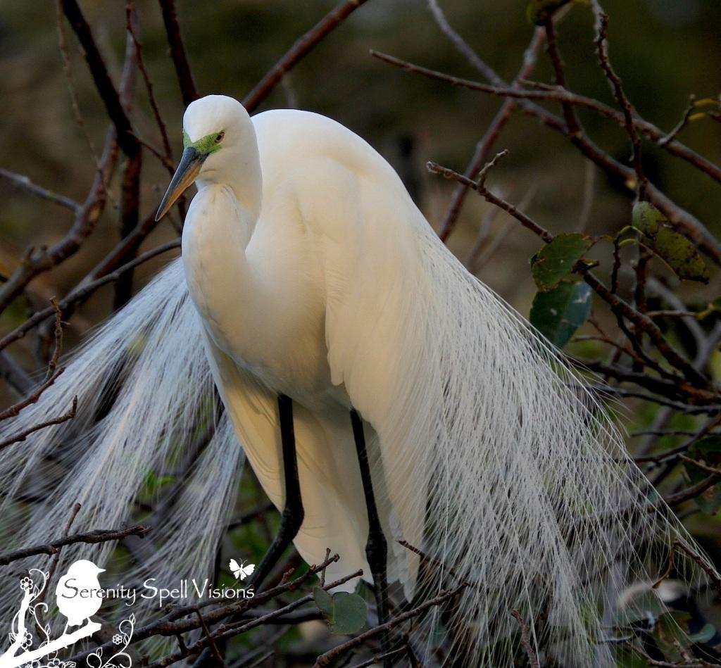 Breeding Great Egret, Florida Wetlands