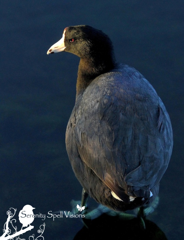 American Coot, Florida Wetlands