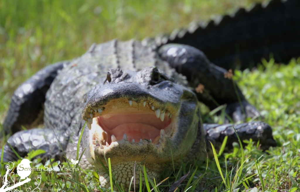 Sunning Alligator in Grassy Waters Preserve, Florida