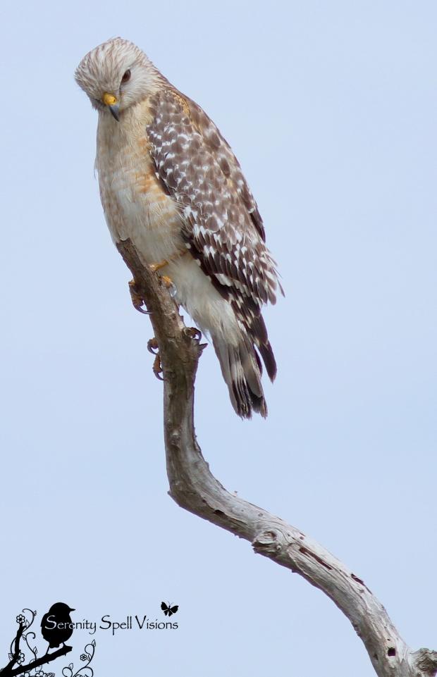 Hawk, Grassy Waters Preserve, West Palm Beach, Florida