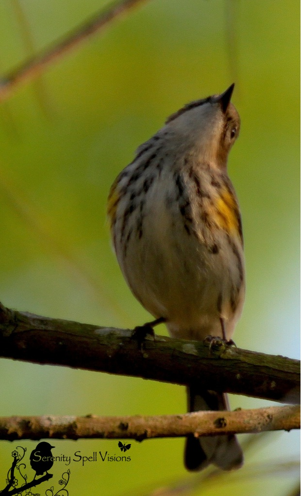 Warbling in the Wetlands | Serenity Spell 2013-02-07-18-24-19-copy-2