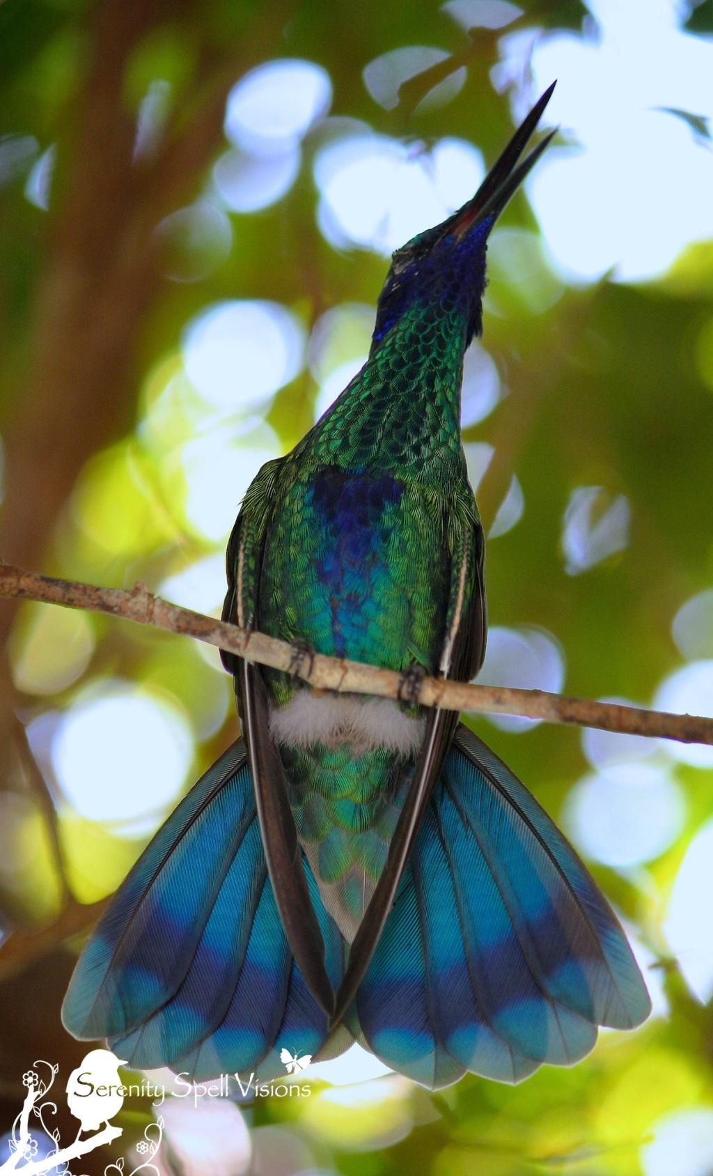 Sparkling violet ear hummingbird, Butterfly World, FL