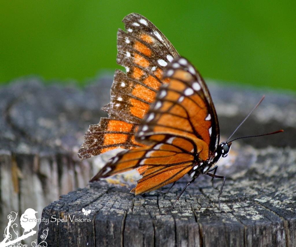 Viceroy Butterfly (Limenitis archippus), Arthur R. Marshall