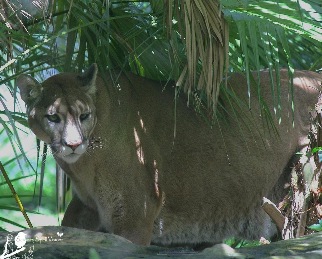 Rescued Florida Panther at Flamingo Gardens, Florida