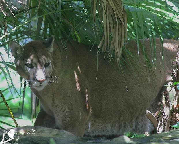 Rescued Florida Panther at Flamingo Gardens, Florida