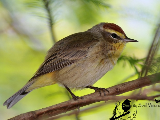 Palm Warbler, Florida Wetlands