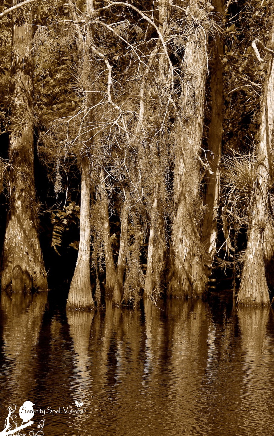 Cypress Trees Along the Owahee Trail in Grassy Waters Preserve, FL