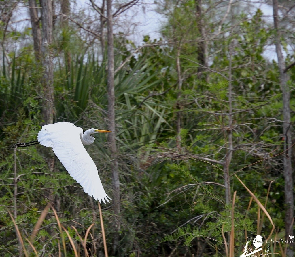 Great Egret in Grassy Waters Preserve, FL