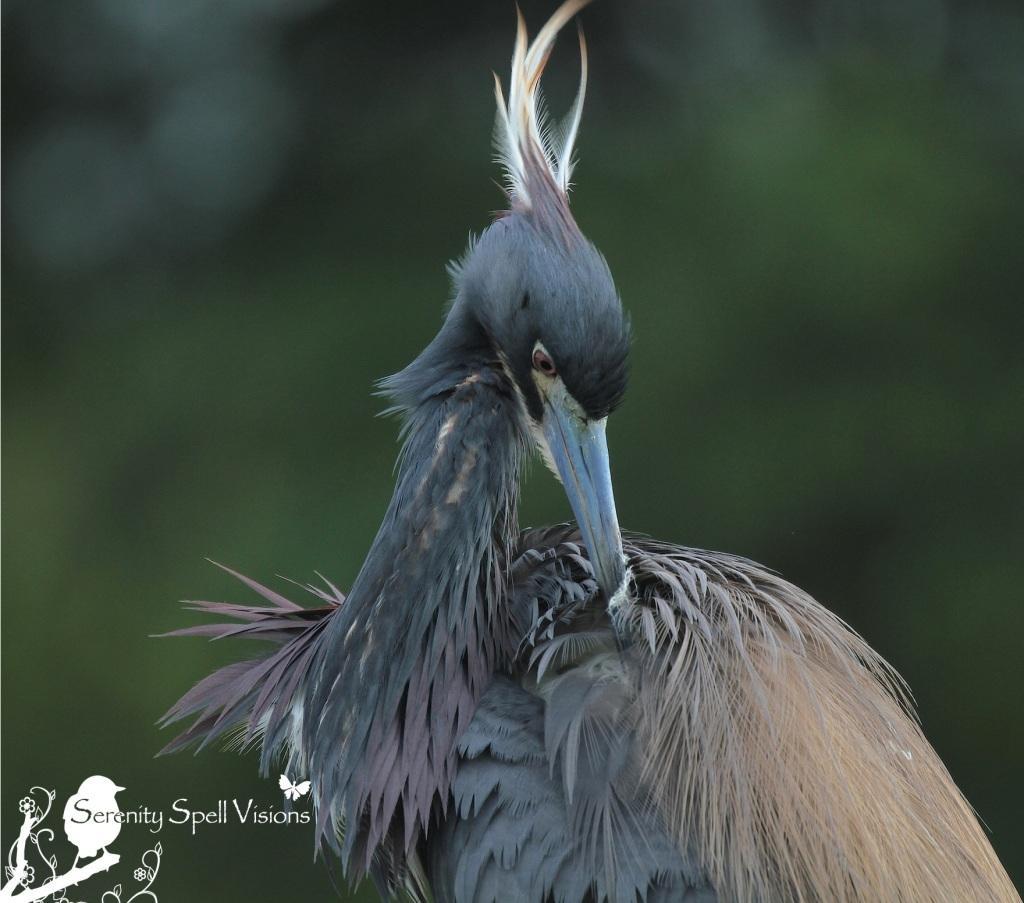 Tricolored (Louisian) Heron in Breeding Plumage, Florida Wetlands