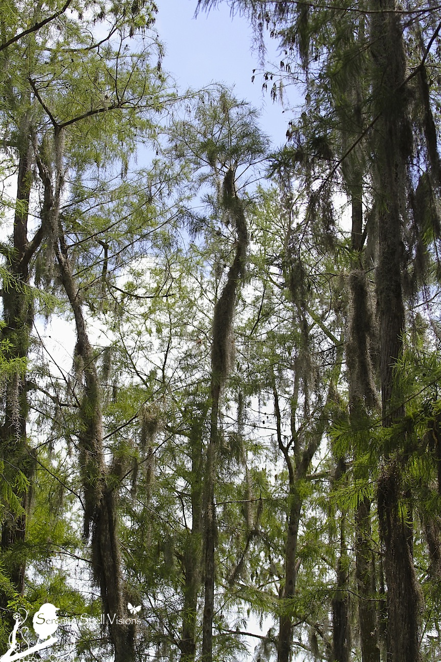 Cypress Swamp, Arthur R. Marshall Loxahatchee National Wildlife Refuge, Florida