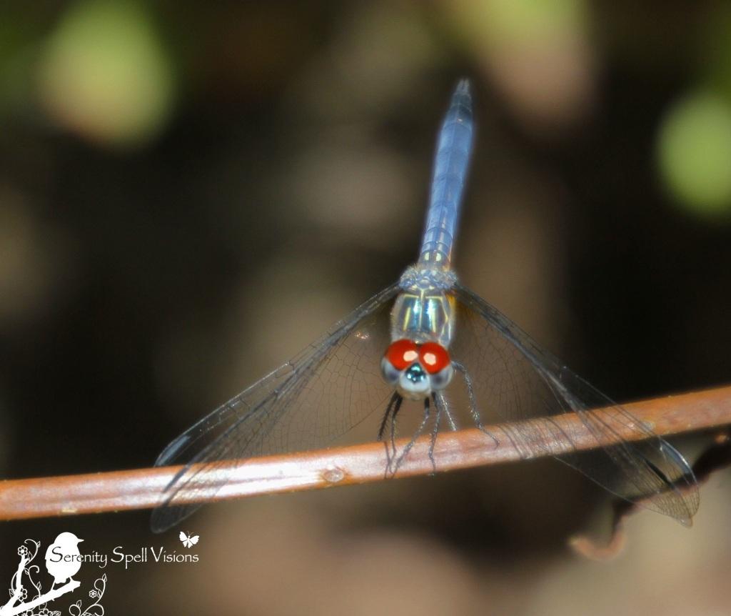 Dragonfly in Cypress Swamp, Arthur R. Marshall Loxahatchee National Wildlife Refuge, Florida
