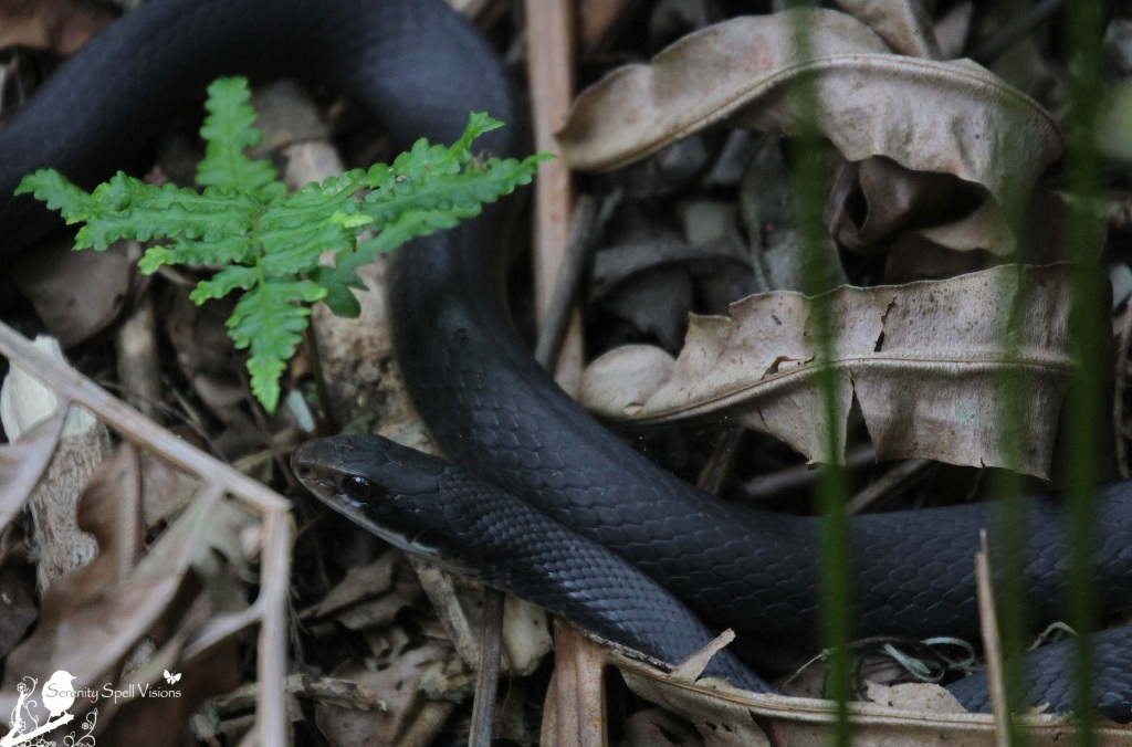 Black Racer Snake, Cypress Swamp, Arthur R. Marshall Loxahatchee National Wildlife Refuge, Florida