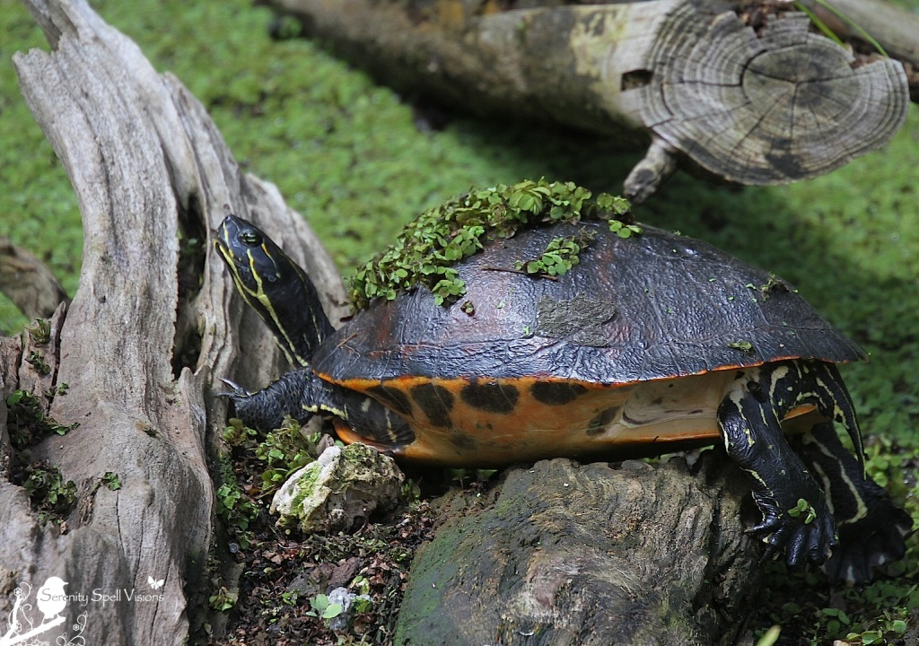 Red-bellied Cooter (Turtle), Cypress Swamp, Arthur R. Marshall Loxahatchee National Wildlife Refuge, Florida