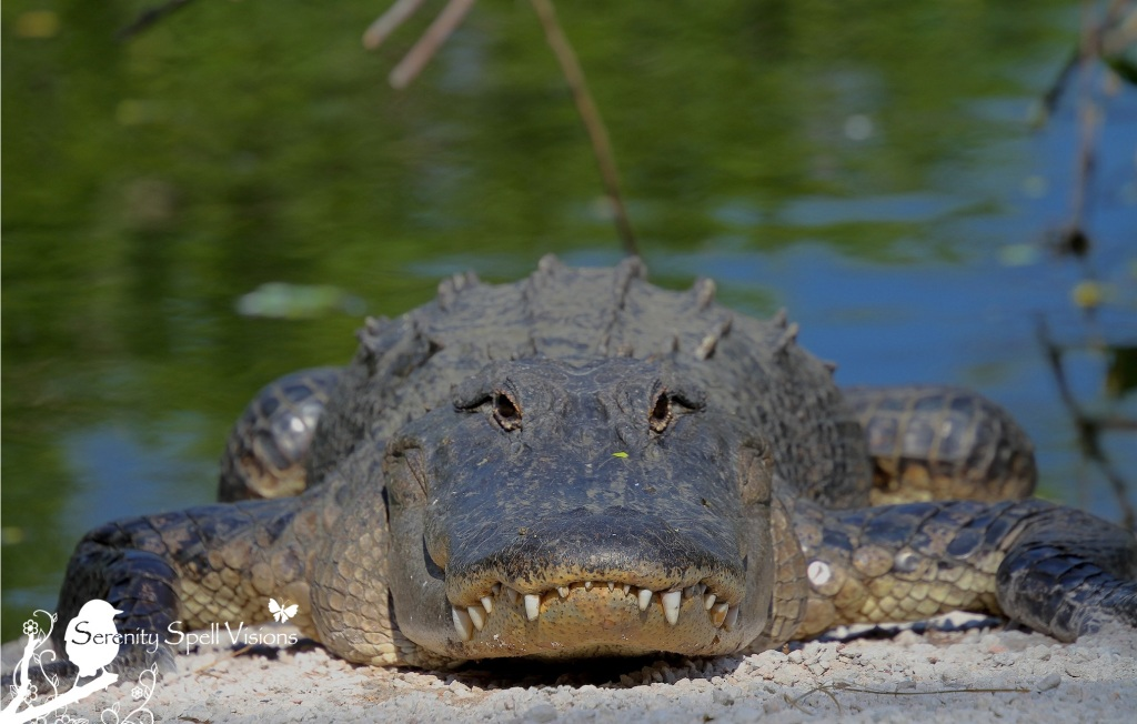 Alligator, Florida Everglades