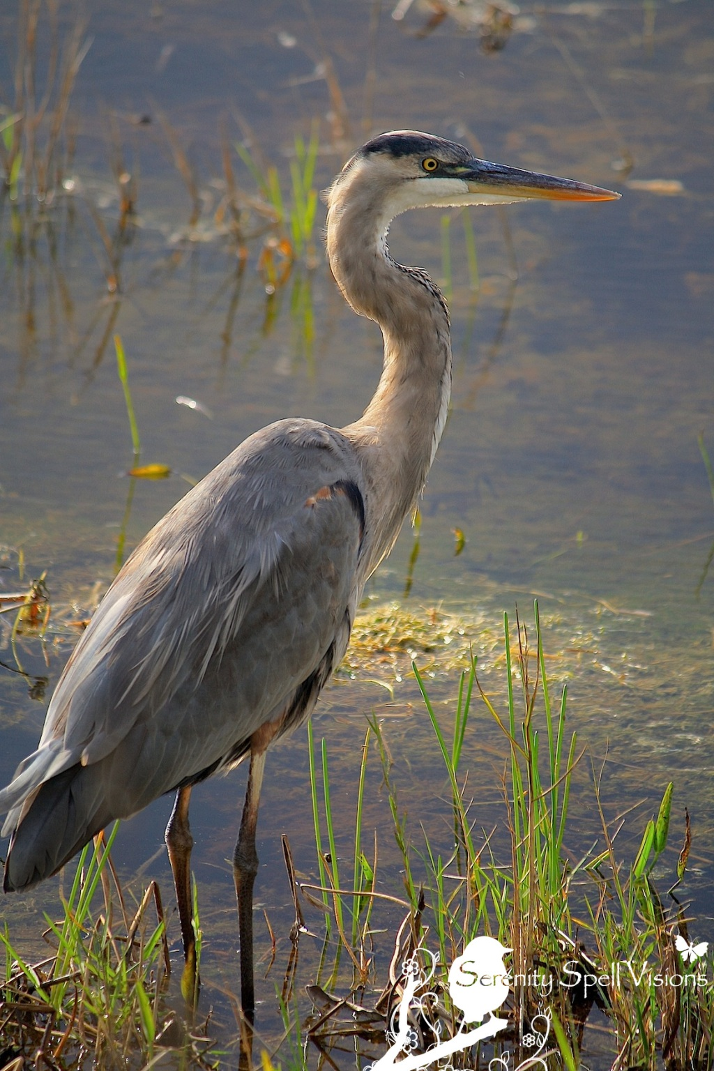 Great Blue Heron in Arthur R. Marshall Loxahatchee National Wildlife Refuge, Florida