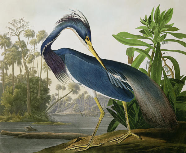 Audubon, Louisiana Heron (Tricolored Heron)