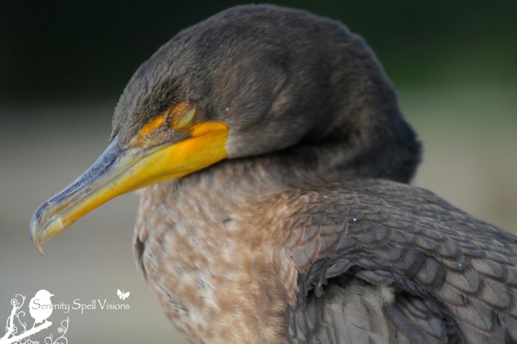 Sleeping Cormorant, Florida Wetlands