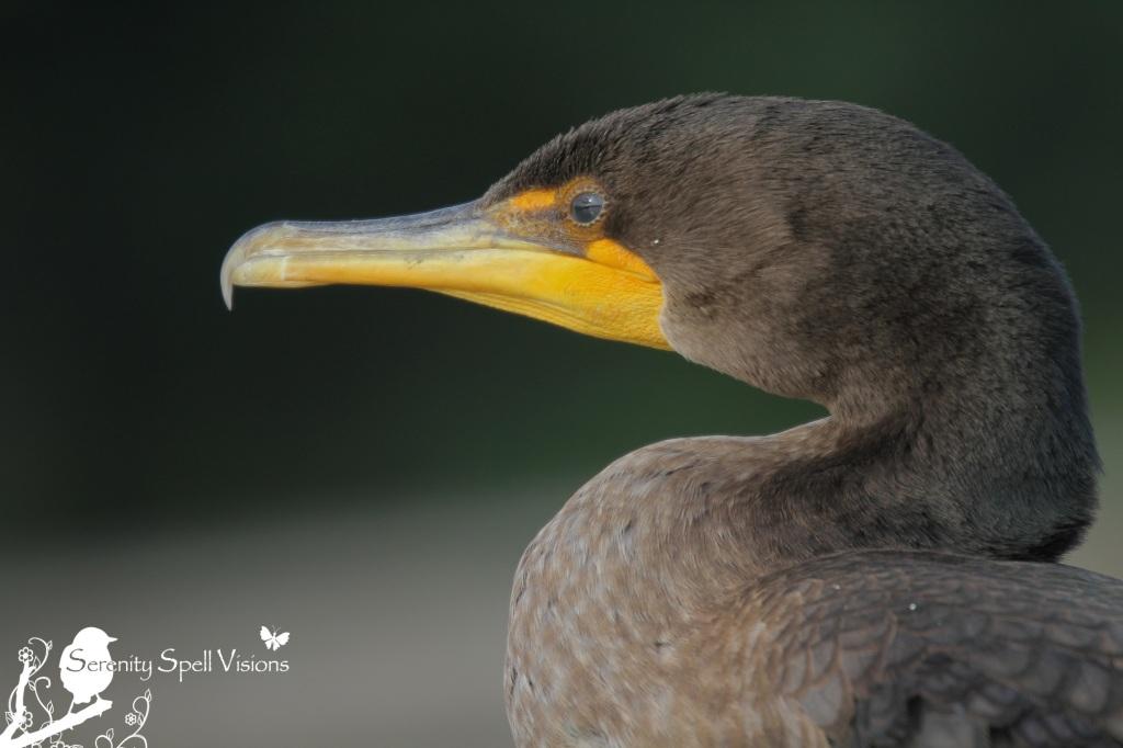 Cormorant, Florida Wetlands