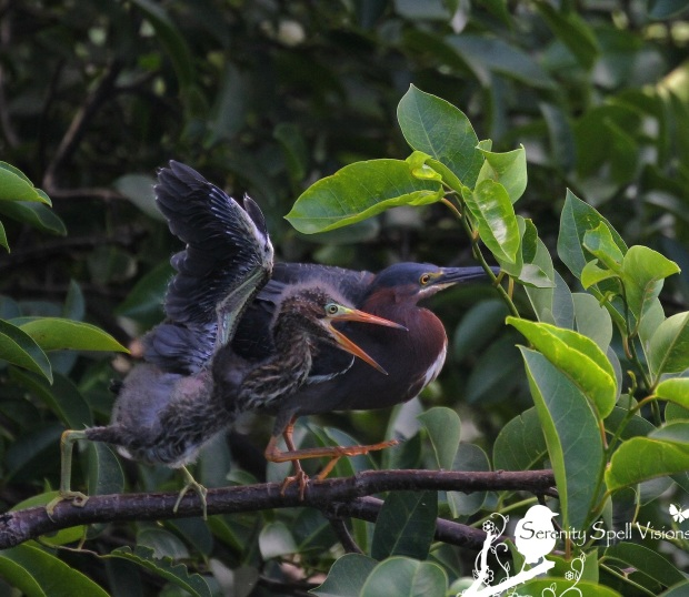 Baby Green Heron and Mother in Pond Apple Tree, Florida Wetlands