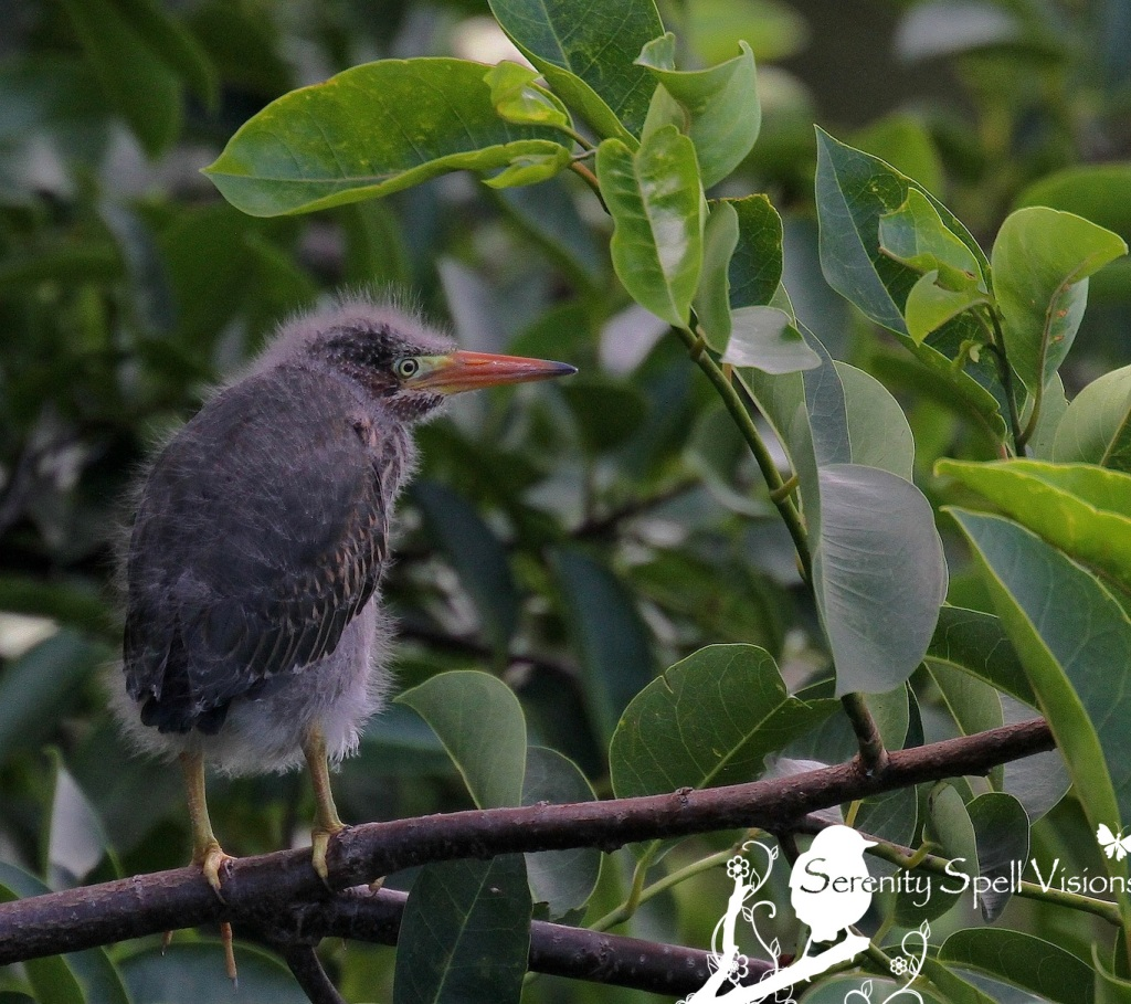 Baby Green Heron in Pond Apple Tree, Florida Wetlands
