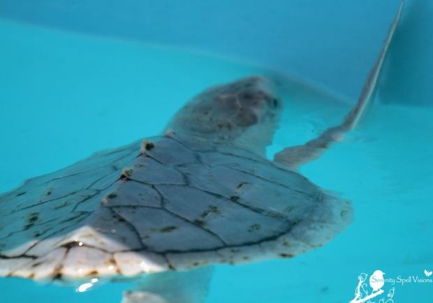 Sea Turtle, Loggerhead Marinelife Center, Juno Beach, Florida