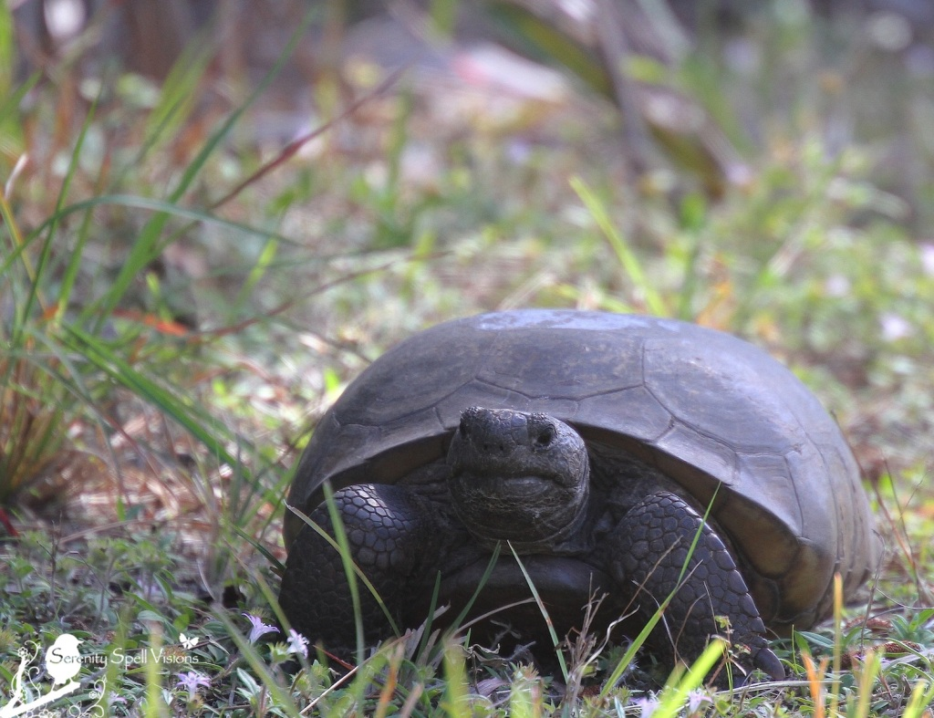 Gopher (Burrowing) Tortoise, Savannas Preserve State Park