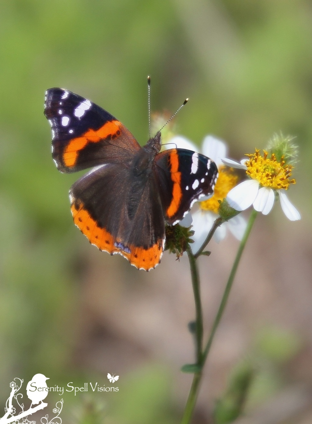 Red Admiral Butterfly (Vanessa atalanta), Florida Everglades
