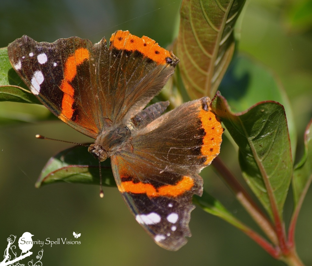 Red Admiral Butterfly (Vanessa atalanta), Florida Wetlands