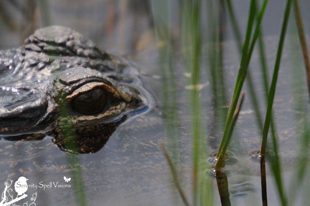 Juvenile Alligator, Grassy Waters Preserve, Florida