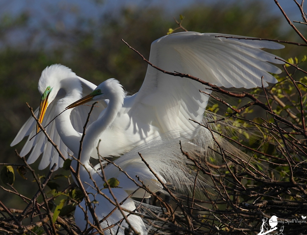 Breeding Great Egrets Building Their Nest, Florida Wetlands