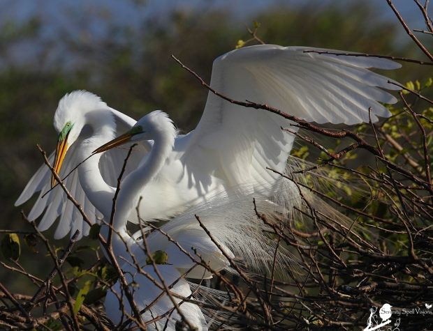 Breeding Great Egrets Building Their Nest, Florida Wetlands