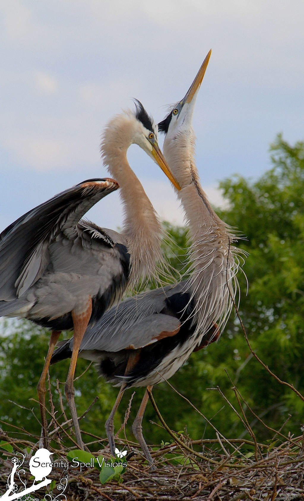 Great Blue Heron Mating Pair at their Nest in the Florida Wetlands