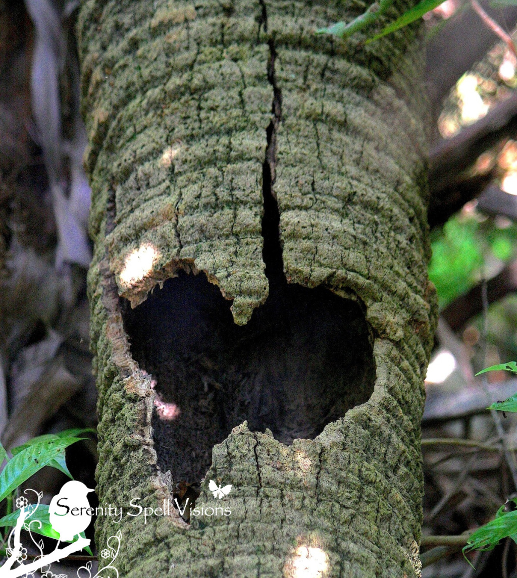 Heart Tree at Fern Forest Nature Center, Broward County, Florida