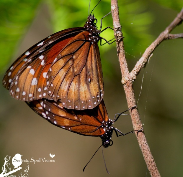 Mating Viceroy Butterflies (Limenitis archippus), Fern Forest Nature Center, Florida