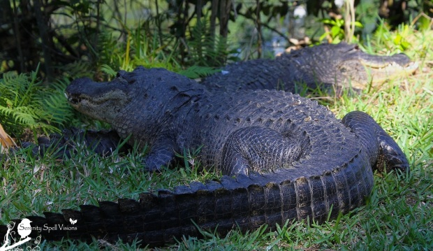 Alligator Pair in the Florida Everglades