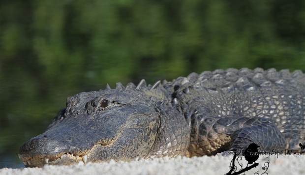 Sunning Alligator, Florida Everglades