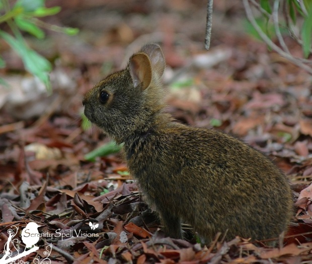 Marsh Rabbit Baby, Florida Wetlands
