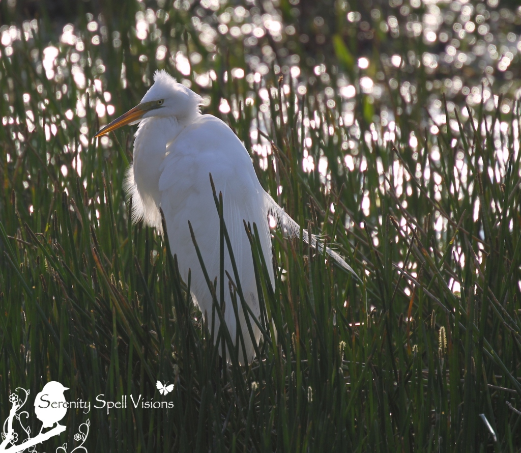 Great Egret, Everglades, Florida