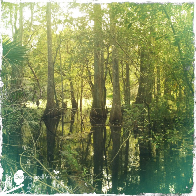 Cypress trees in the swamp, Florida Everglades