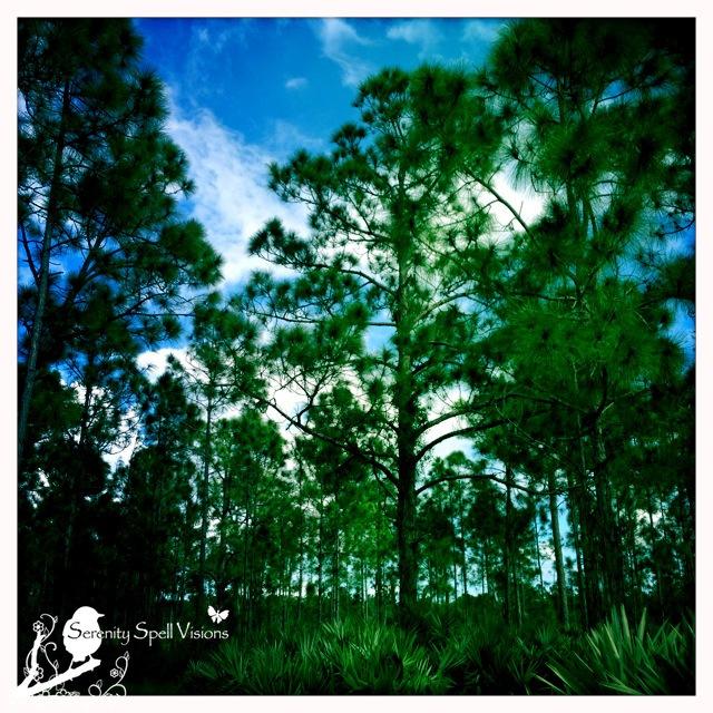 Pine flatwoods vista