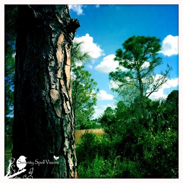 Slash Pine Close-up