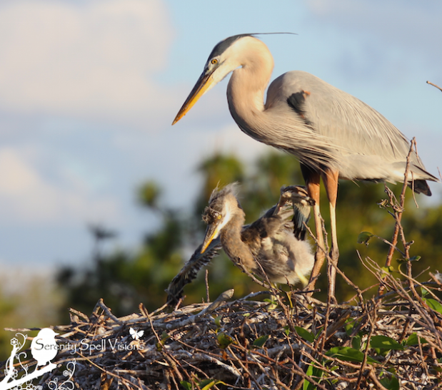 Preserving the future of the wetlands of our world: Mother and baby Great Blue Heron in the Florida wetlands