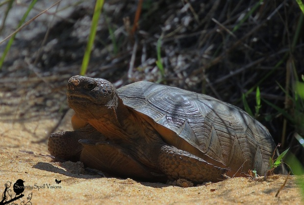 Gopher Tortoise in His Burrow