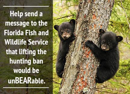 Saving the Florida Black Bear