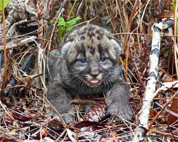 Florida Panther Kitten (Copyright John Kellam), Big Cypress National Preserve, Florida